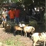 Pedagang Hewan Kurban Di Pasar Tradisional Idi Rayeuk Aceh Timur Foto: HAm