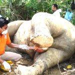 Reskrim Polres Aceh Timur melakukan identifikasi terhadap bangkai gajah betina yang mati diperkebunan karet milik PT.BUMI FLORA,pada jum'at(13/07/18).foto,14M